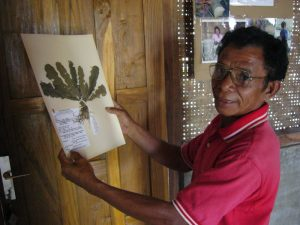 Agustinus Angkol, a traditional Tado elder and herbarium researcher, showing one of the medicinal plants he collected