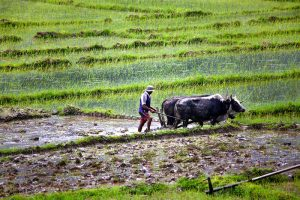 Rice-Worker-Nepal