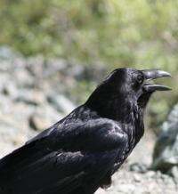 raven_detail-e1398380215659