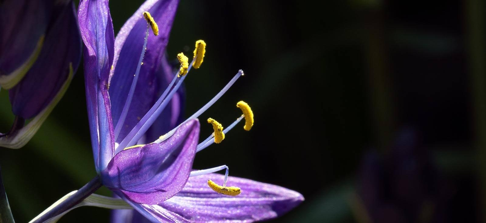 Camas lily photo by Neil Dickie