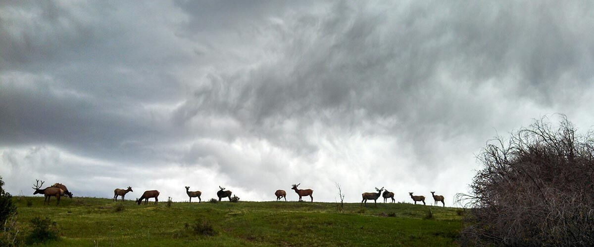 elk against stormy sky
