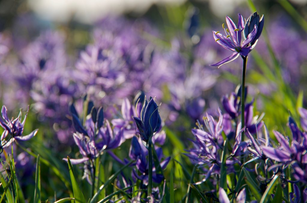 Close up of purple-blue camas lilies in the evening spring light, Beacon Hill Park, Victoria, British Columbia.