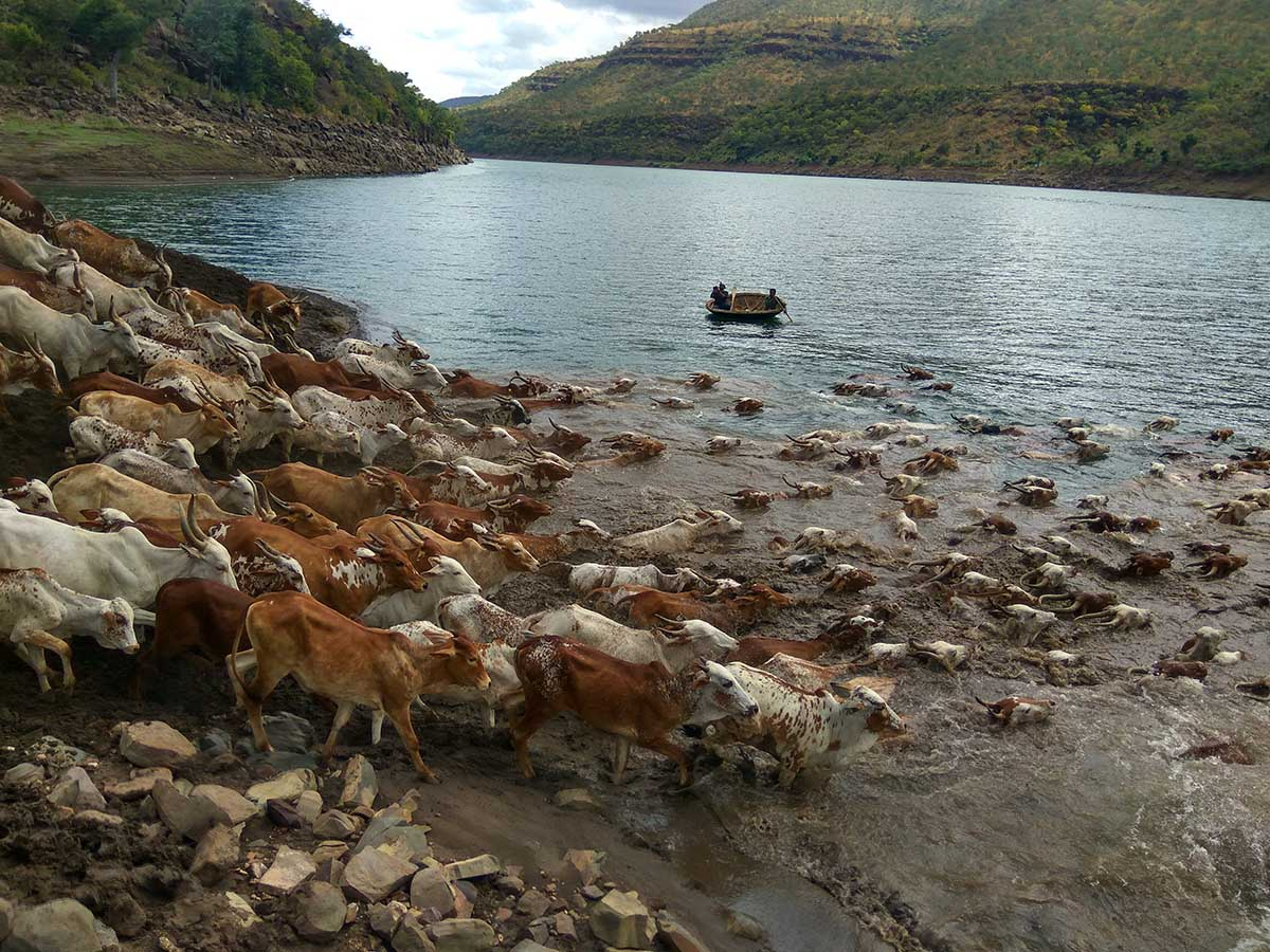 cattle crossing river