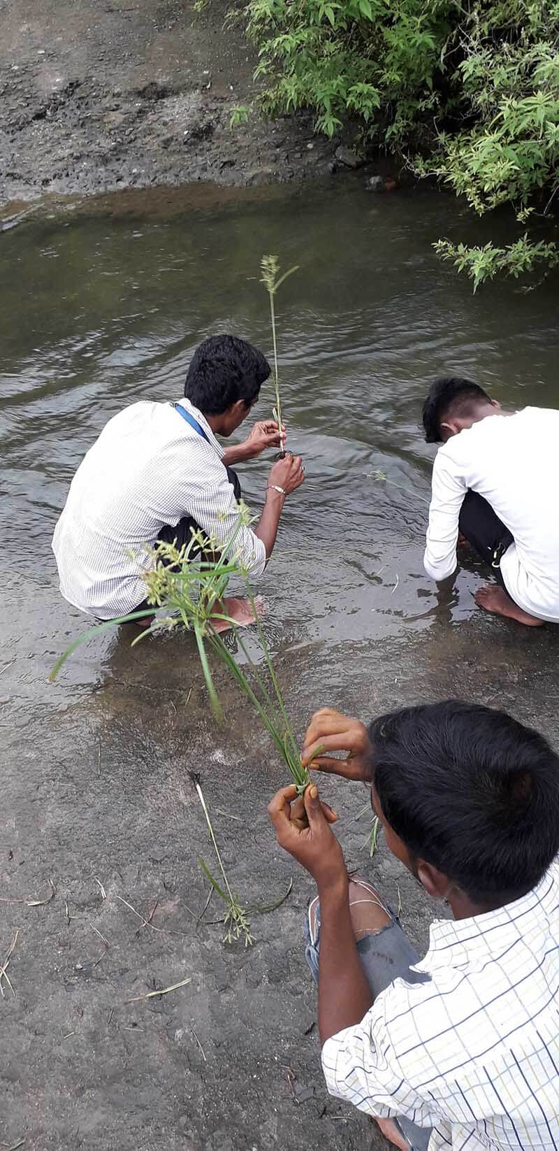 lavhan grass in river