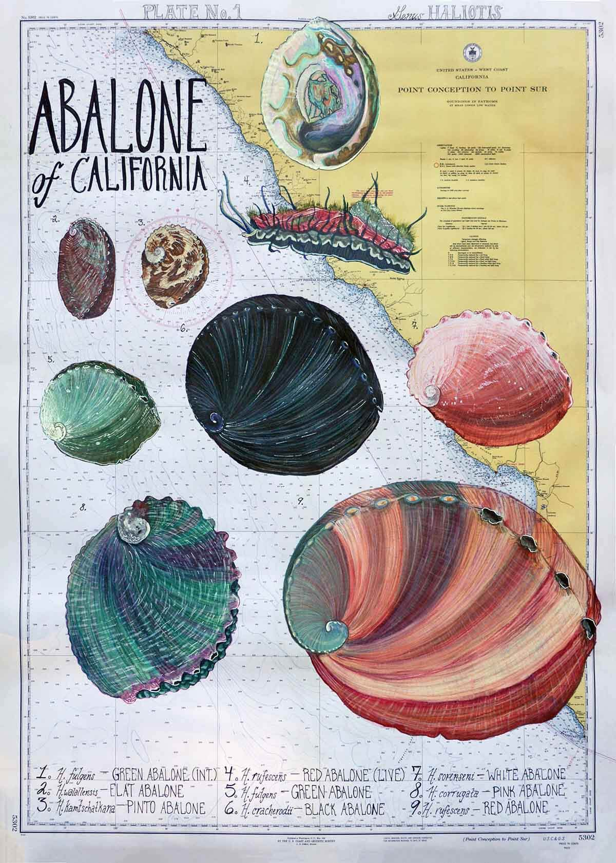 abalone species