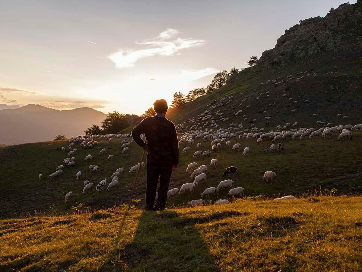 shepherds and flocks